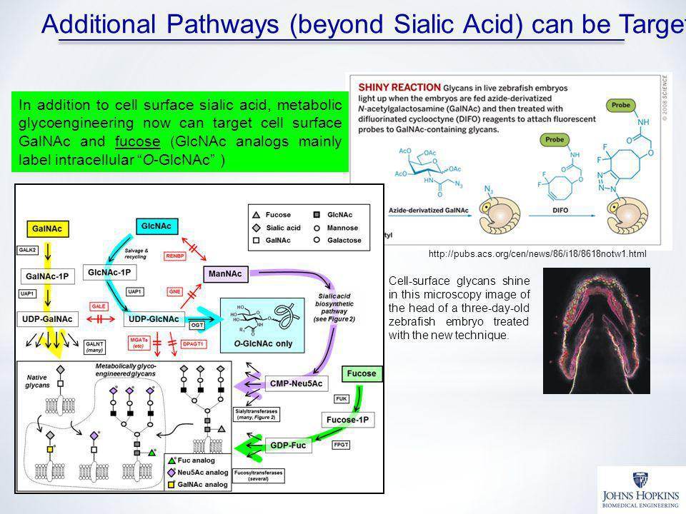Additional Pathways (beyond Sialic Acid) can be Targeted