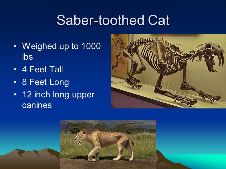 Saber-toothed Cat Weighed up to 1000 lbs 4 Feet Tall 8 Feet Long