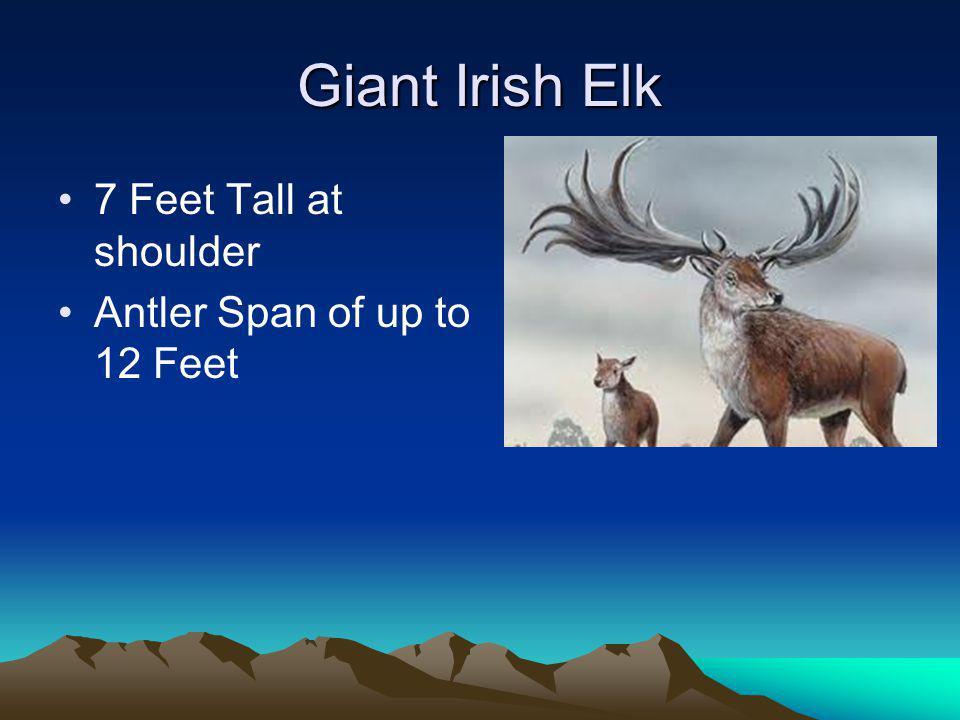 Giant Irish Elk 7 Feet Tall at shoulder Antler Span of up to 12 Feet