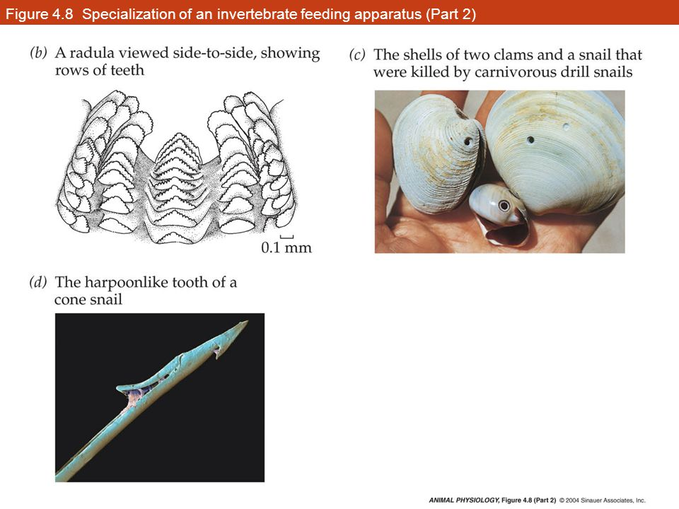 Figure 4.8 Specialization of an invertebrate feeding apparatus (Part 2)