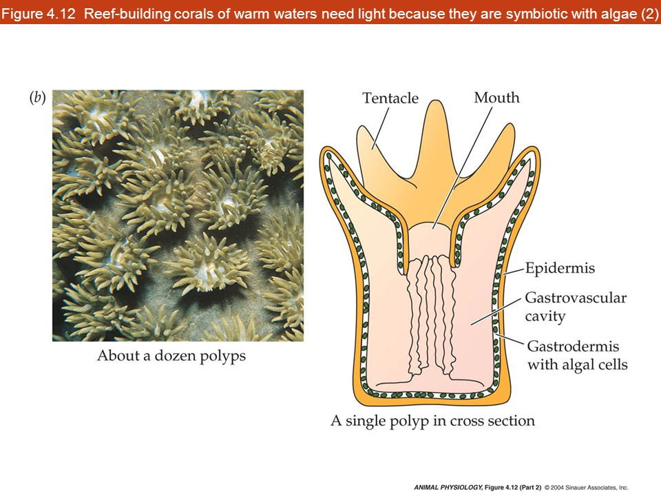 Figure 4.12 Reef-building corals of warm waters need light because they are symbiotic with algae (2)