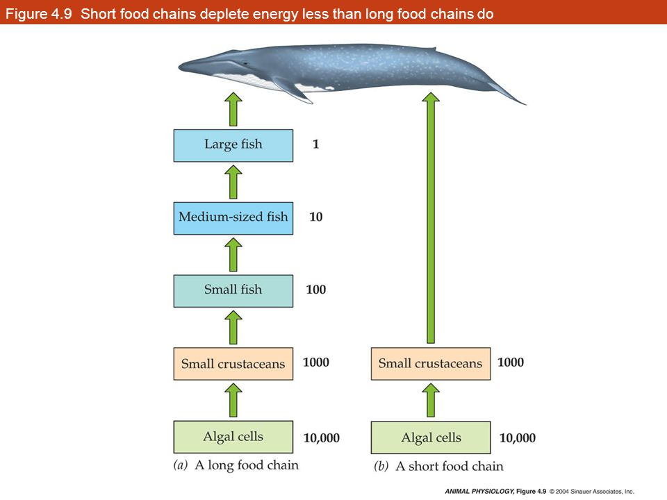 Figure 4.9 Short food chains deplete energy less than long food chains do