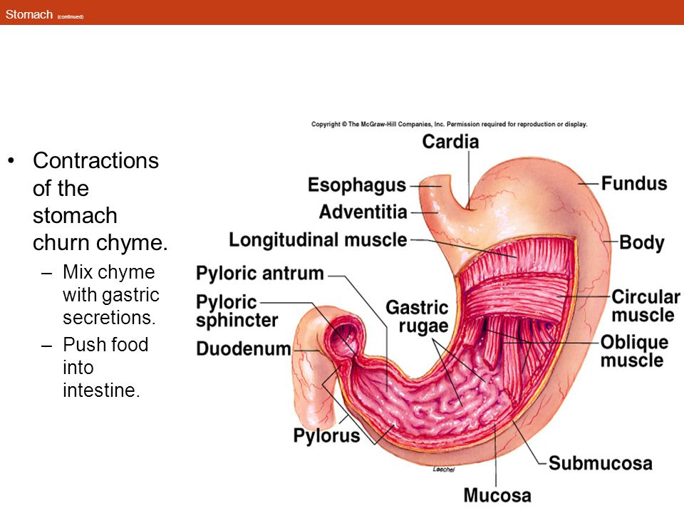 Contractions of the stomach churn chyme.