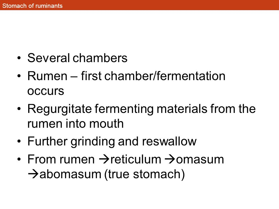 Rumen – first chamber/fermentation occurs