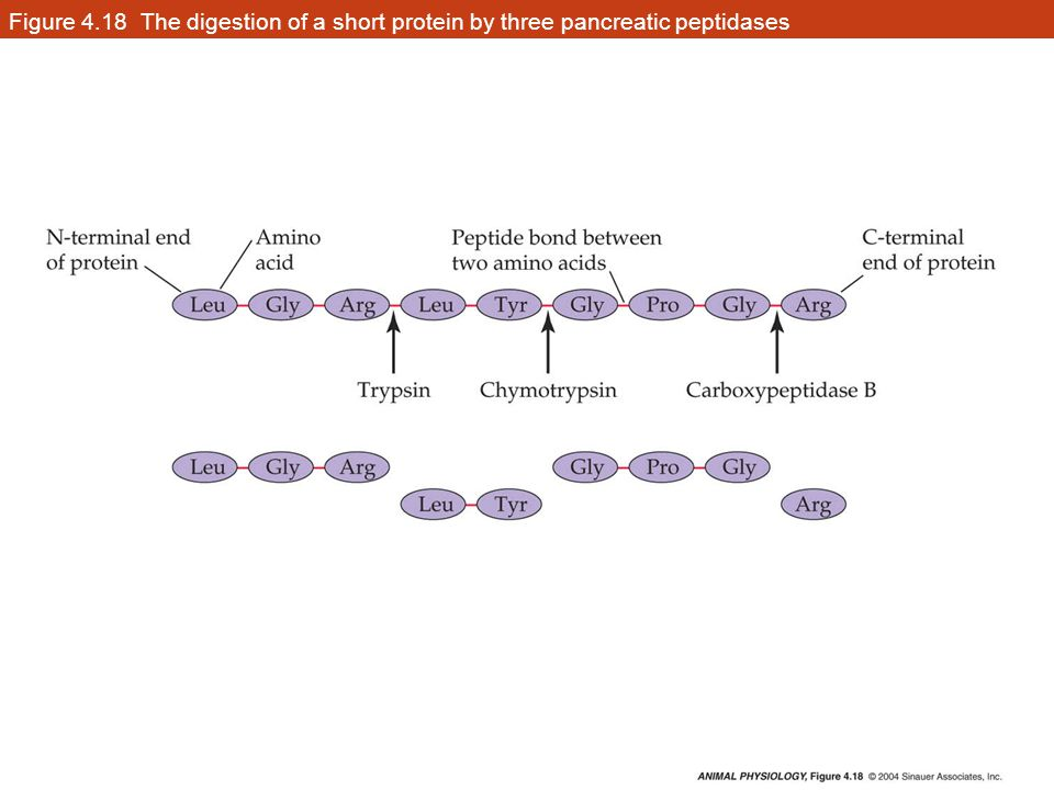 Figure 4.18 The digestion of a short protein by three pancreatic peptidases