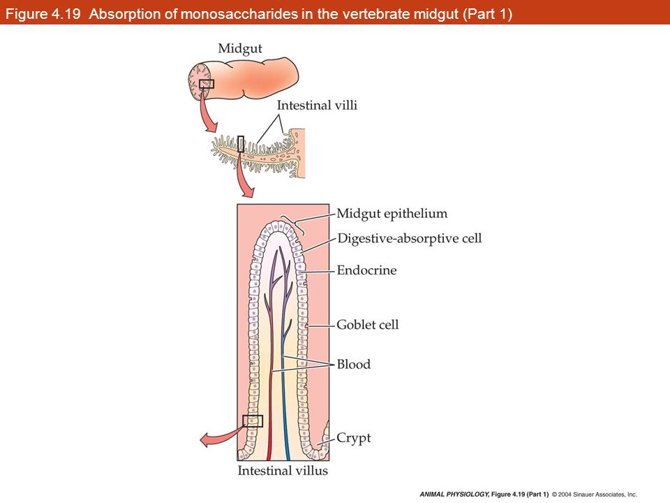 Figure 4.19 Absorption of monosaccharides in the vertebrate midgut (Part 1)