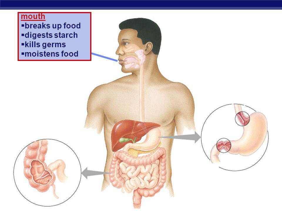 mouth breaks up food digests starch kills germs moistens food