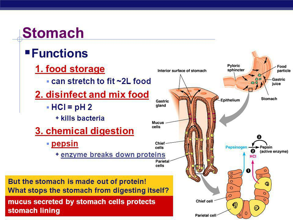 Stomach Functions 1. food storage 2. disinfect and mix food