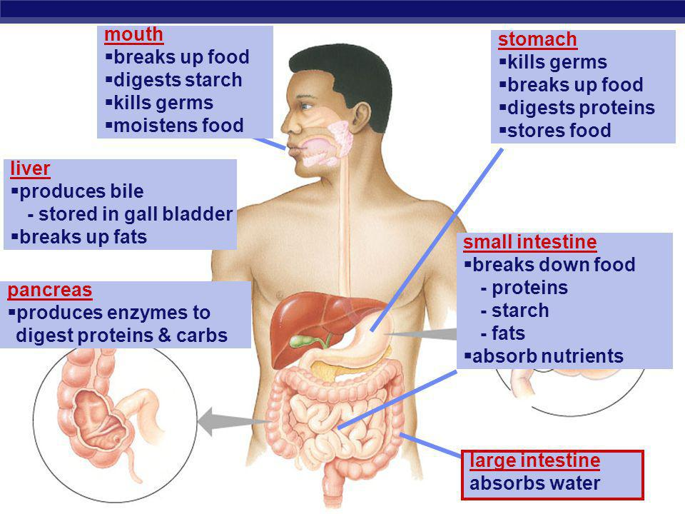 mouth breaks up food. digests starch. kills germs. moistens food. stomach. kills germs. breaks up food.