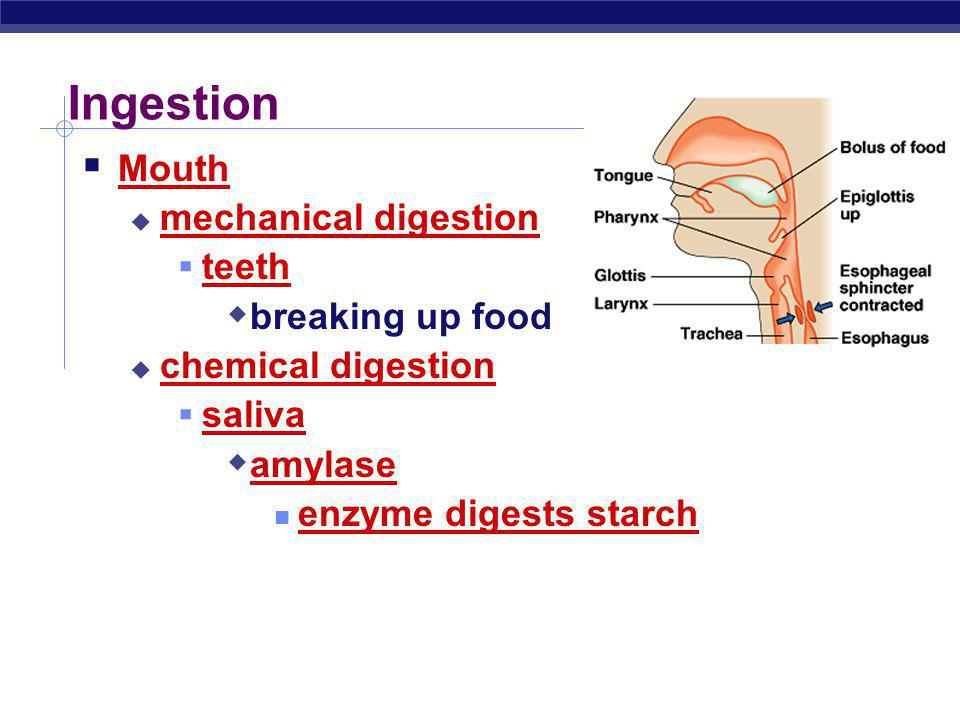 Ingestion Mouth mechanical digestion teeth breaking up food