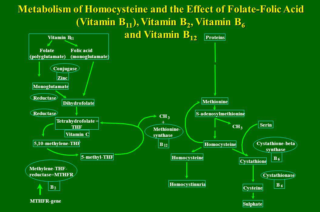 Metabolism of Homocysteine and the Effect of Folate-Folic Acid (Vitamin B11), Vitamin B2, Vitamin B6 and Vitamin B12