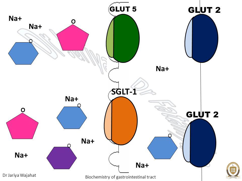 GLUT 5 GLUT 2 O Na+ O Na+ Na+ SGLT-1 O Na+ O GLUT 2 O Na+ O Na+ Na+
