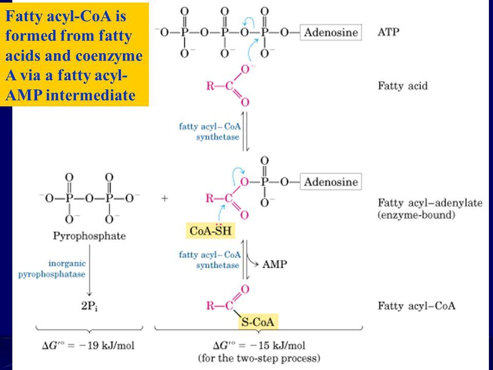 Fatty acyl-CoA is formed from fatty acids and coenzyme A via a fatty acyl- AMP intermediate