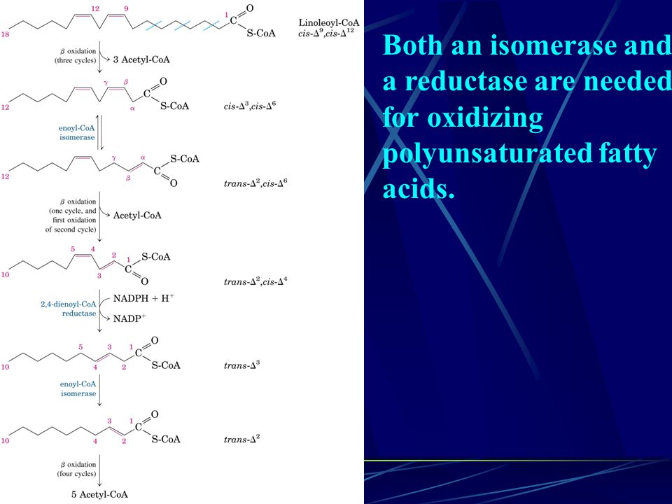 Both an isomerase and a reductase are needed for oxidizing polyunsaturated fatty acids.