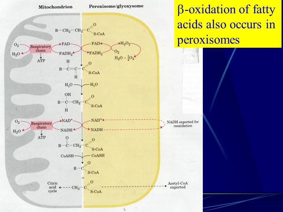 -oxidation of fatty acids also occurs in peroxisomes