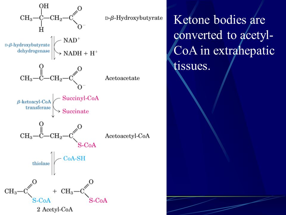 Ketone bodies are converted to acetyl- CoA in extrahepatic tissues.