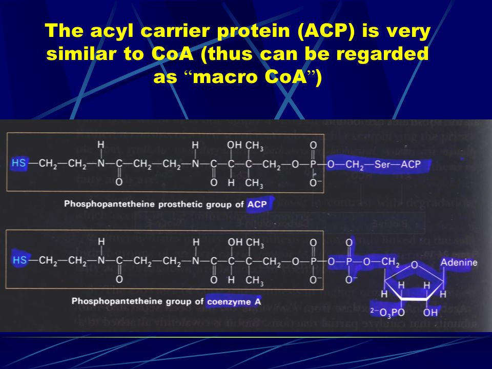 The acyl carrier protein (ACP) is very similar to CoA (thus can be regarded as macro CoA )
