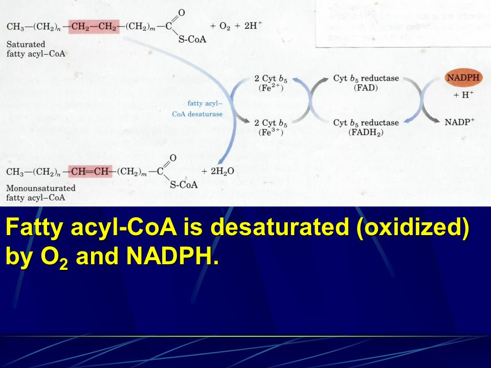 Fatty acyl-CoA is desaturated (oxidized)
