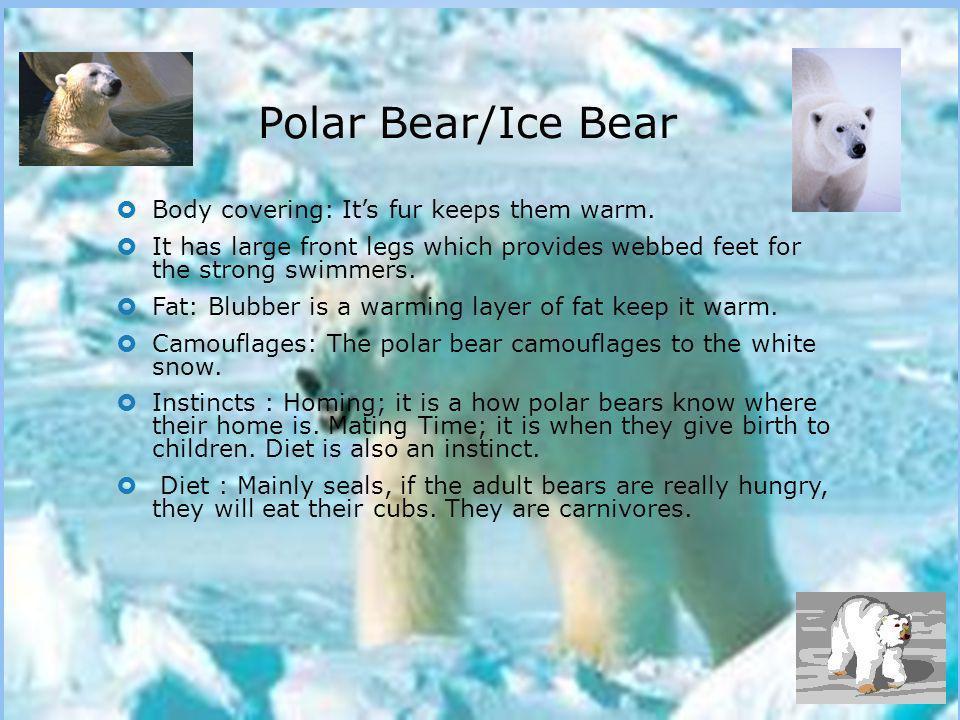 Polar Bear/Ice Bear Body covering: It's fur keeps them warm.