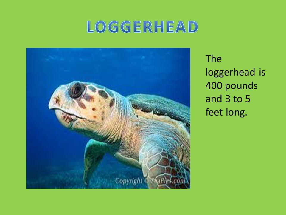 LOGGERHEAD The loggerhead is 400 pounds and 3 to 5 feet long.
