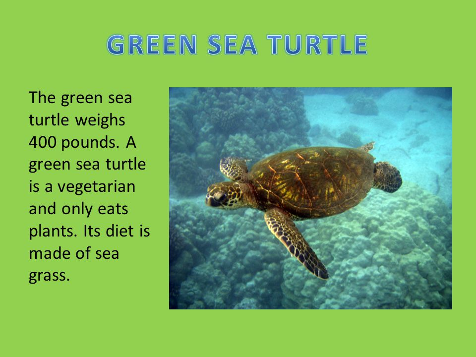 GREEN SEA TURTLE The green sea turtle weighs 400 pounds.