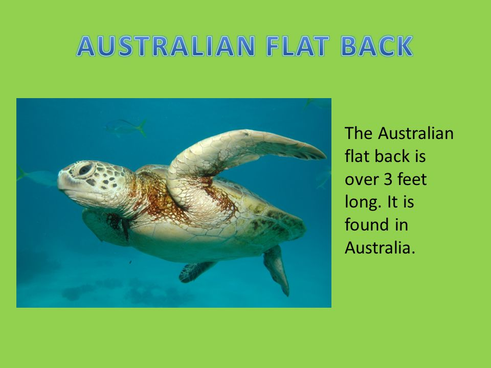 AUSTRALIAN FLAT BACK The Australian flat back is over 3 feet long. It is found in Australia.