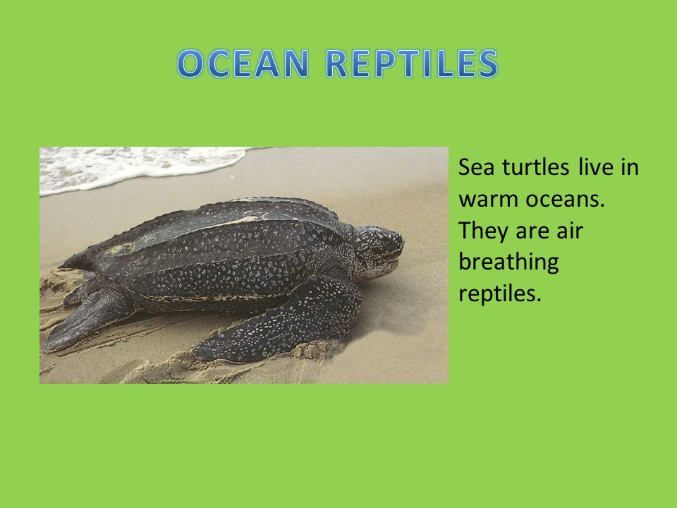 OCEAN REPTILES Sea turtles live in warm oceans. They are air breathing reptiles.