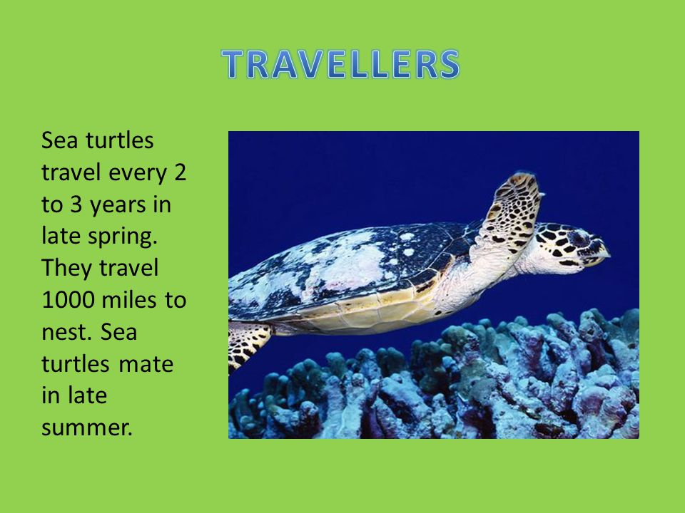 TRAVELLERS Sea turtles travel every 2 to 3 years in late spring.