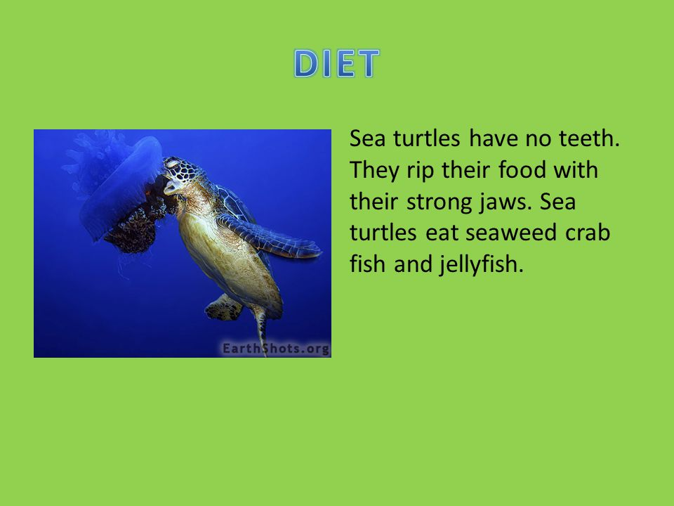 DIET Sea turtles have no teeth. They rip their food with their strong jaws.