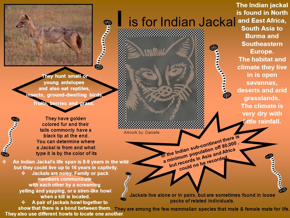 I is for Indian Jackal The Indian jackal is found in North and East Africa, South Asia to Burma and Southeastern Europe.