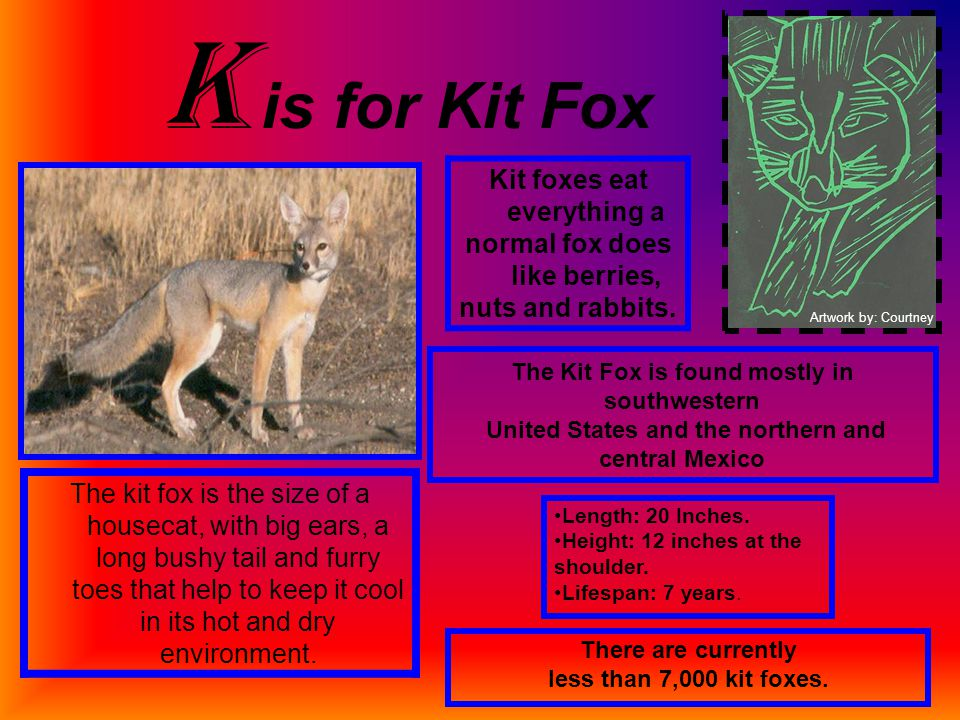 K is for Kit Fox Kit foxes eat everything a