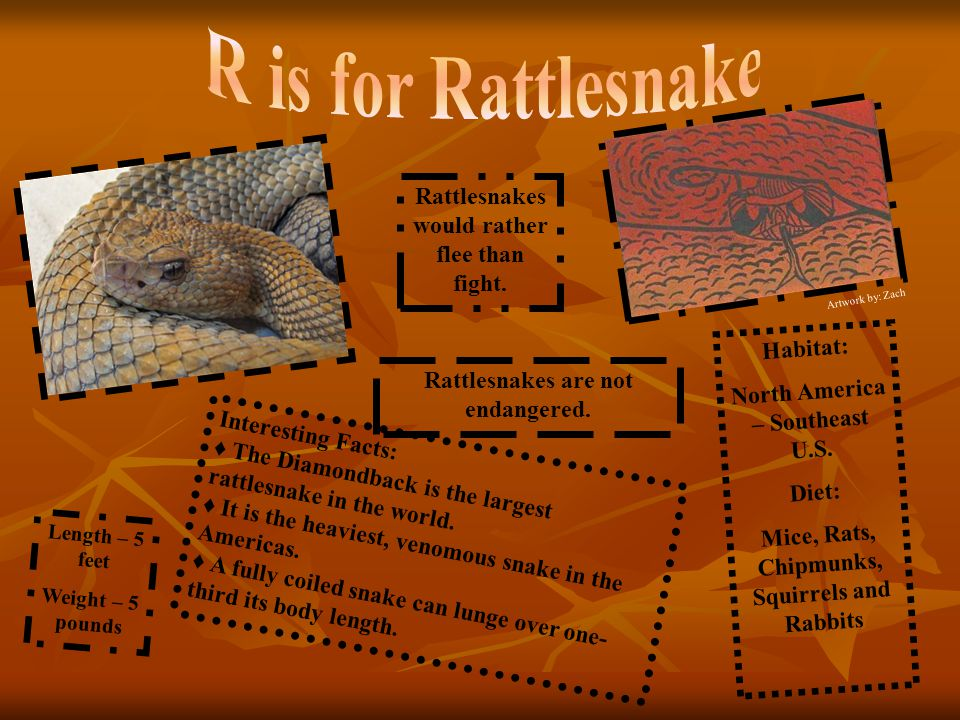 R is for Rattlesnake Rattlesnakes would rather flee than fight.