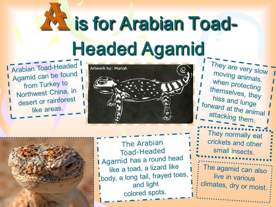 A is for Arabian Toad-Headed Agamid
