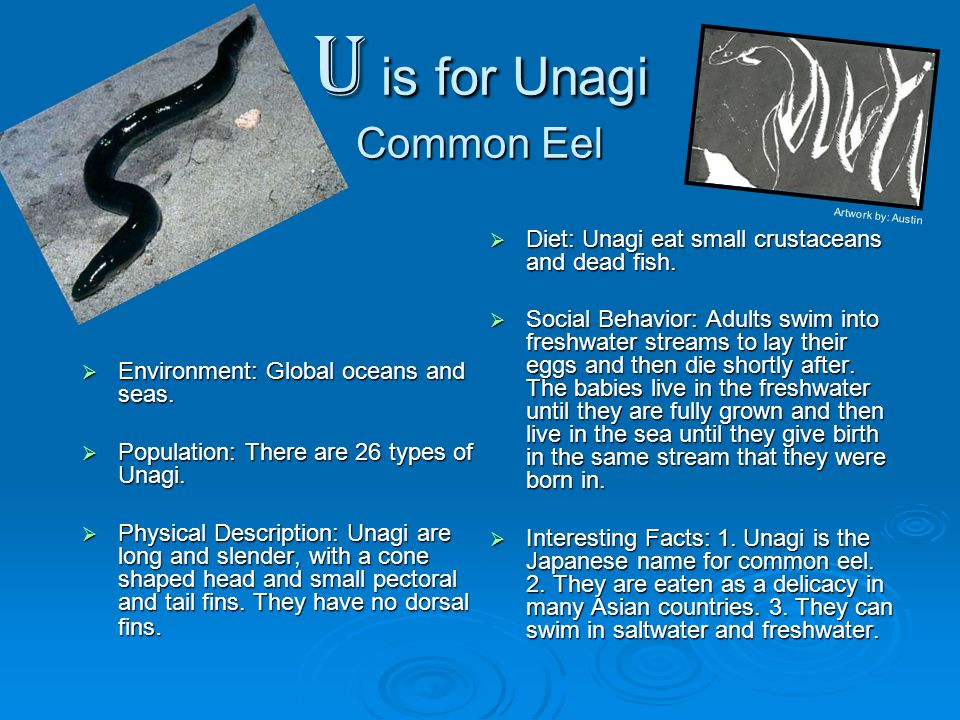 U is for Unagi Common Eel