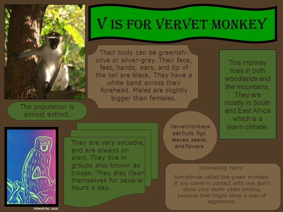 V IS FOR VERVET MONKEY