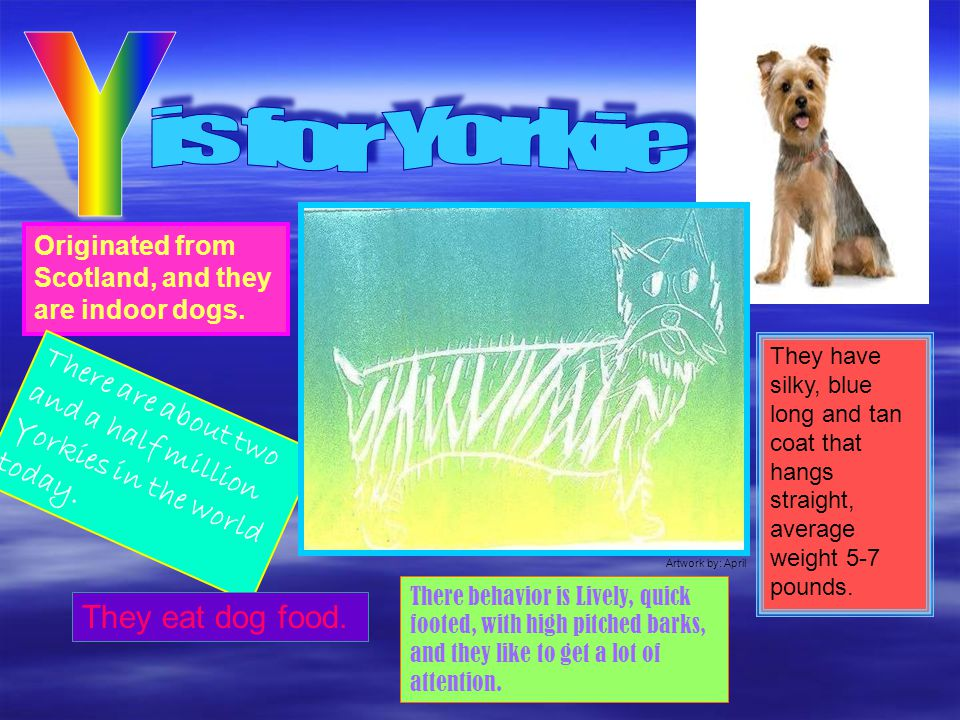 Y is for Yorkie. Originated from Scotland, and they are indoor dogs.