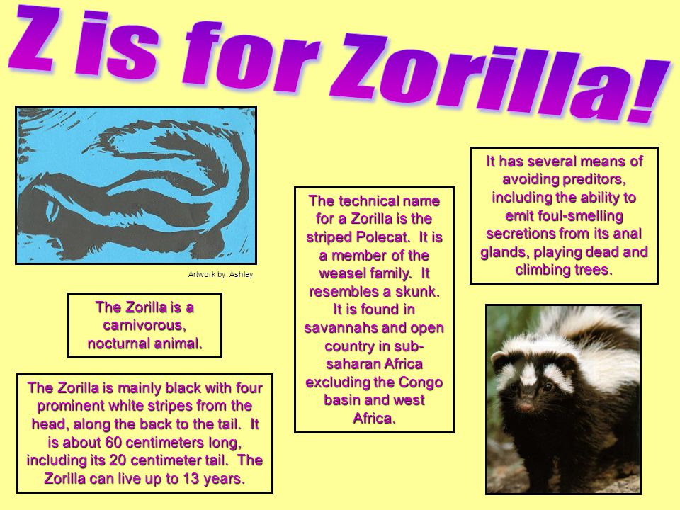 The Zorilla is a carnivorous, nocturnal animal.
