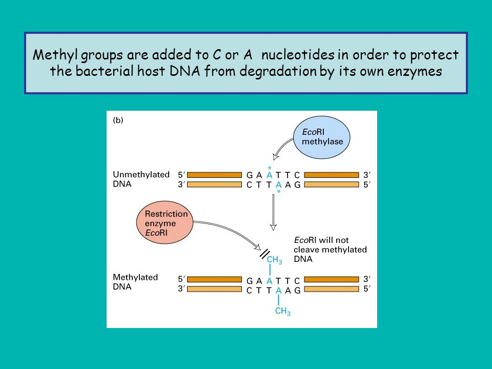 Methyl groups are added to C or A nucleotides in order to protect the bacterial host DNA from degradation by its own enzymes