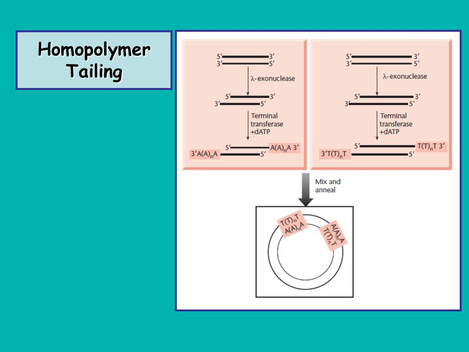 Homopolymer Tailing