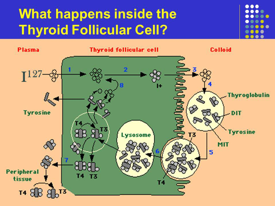 What happens inside the Thyroid Follicular Cell