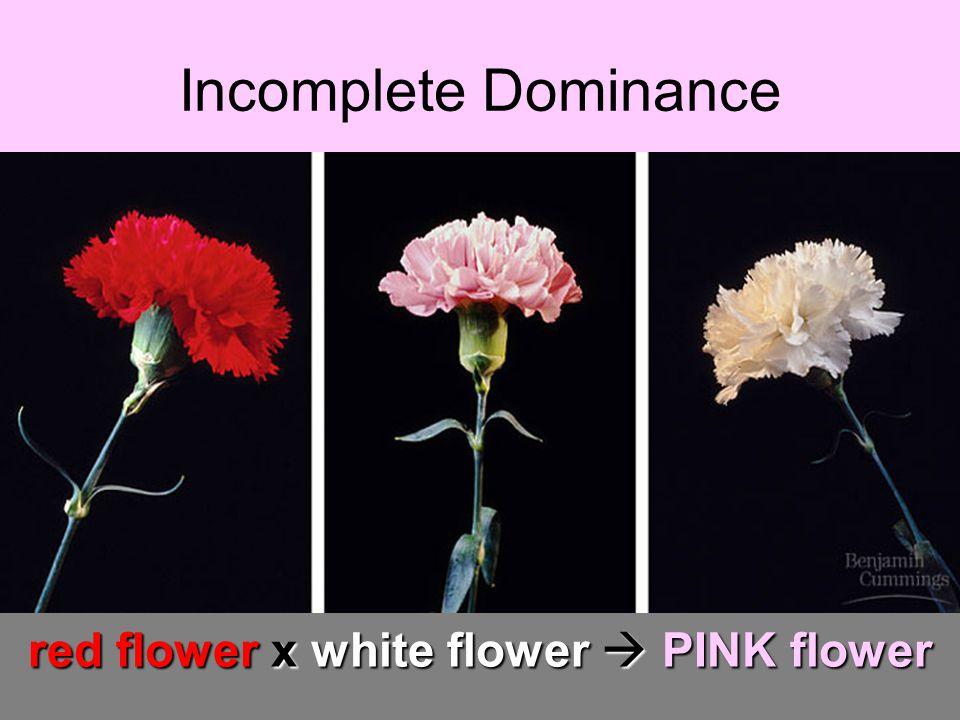 red flower x white flower  PINK flower