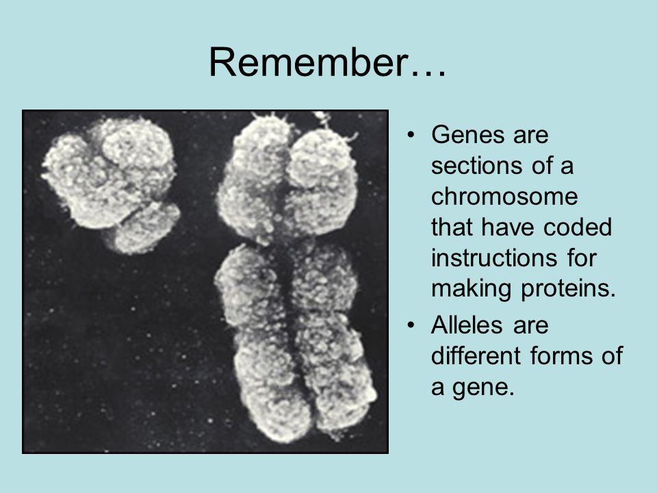 Remember… Genes are sections of a chromosome that have coded instructions for making proteins.