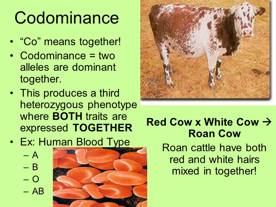 Red Cow x White Cow  Roan Cow