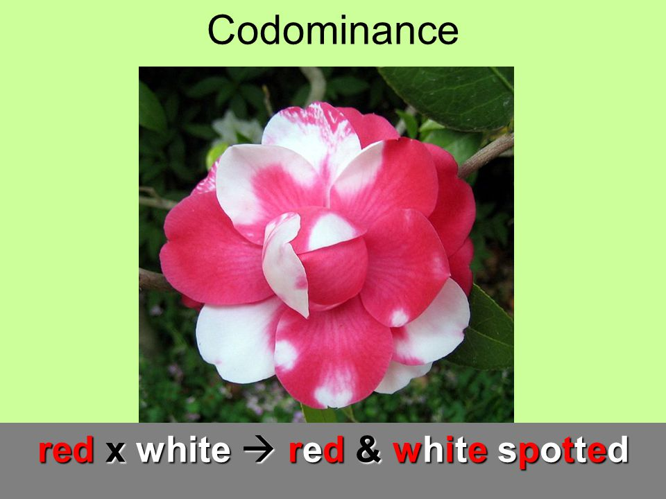 red x white  red & white spotted