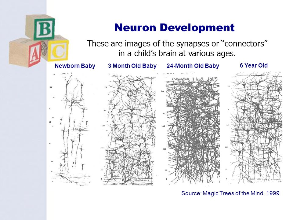 Neuron Development These are images of the synapses or connectors in a child's brain at various ages.