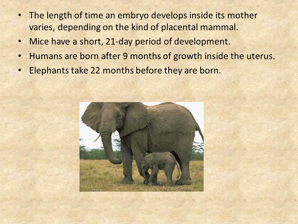 The length of time an embryo develops inside its mother varies, depending on the kind of placental mammal.
