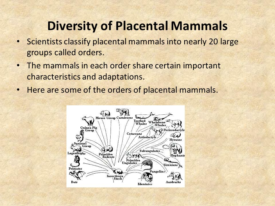 Diversity of Placental Mammals