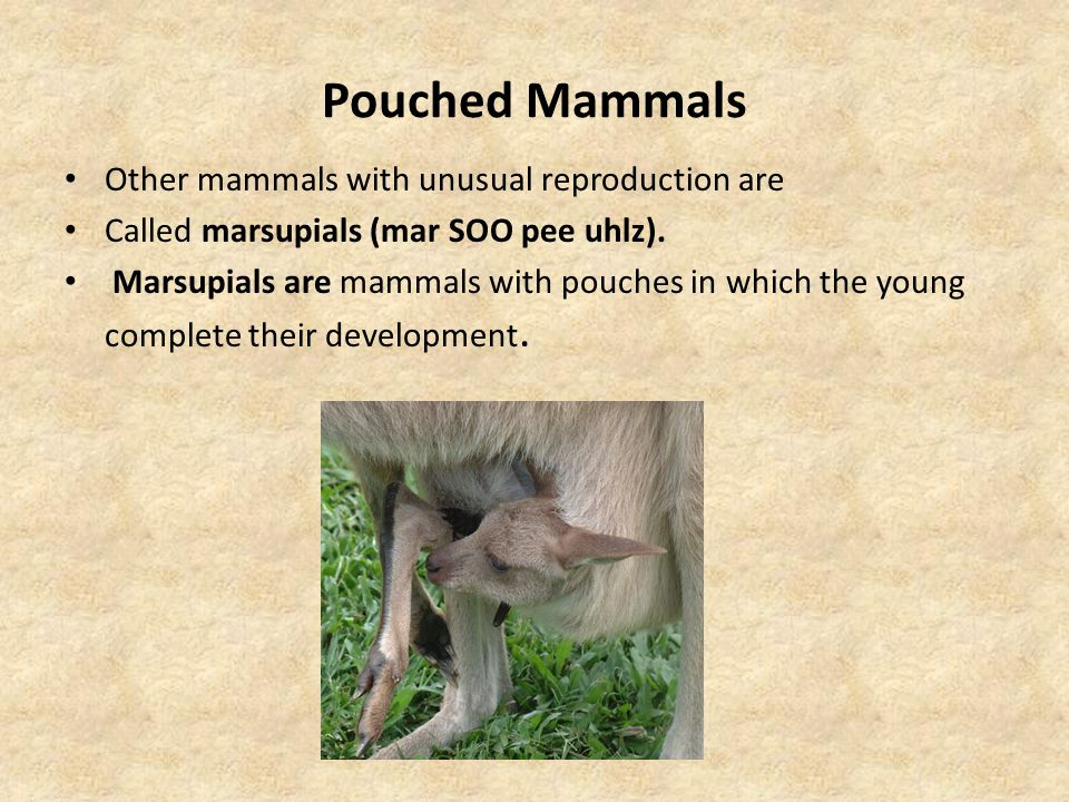 Pouched Mammals Other mammals with unusual reproduction are
