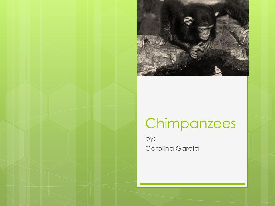 Chimpanzees by: Carolina Garcia