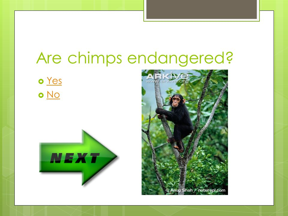 Are chimps endangered Yes No